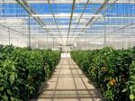カナダ・サンセレクト社、植物工場によるトマト・パプリカの生産施設拡大