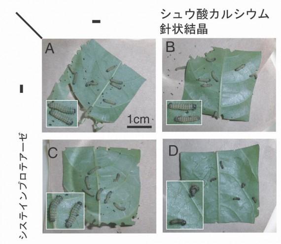 キウイ・パイナップルにおける害虫から身を守る仕組みを解明