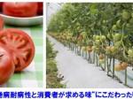 タキイ種苗、トマト黄化葉巻病耐病性の大玉トマト「桃太郎ピース」を発売