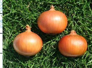 ケルセチン高含有玉ねぎ