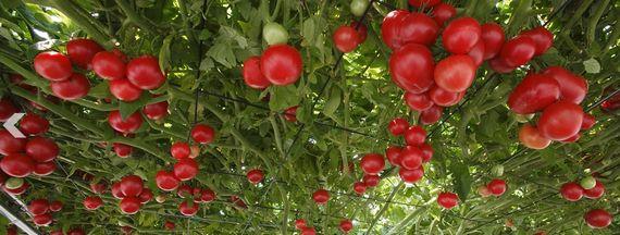 水耕栽培による巨木トマトがギネスに認定。1株から1万個以上の実を収穫(北海道・えこりん村)