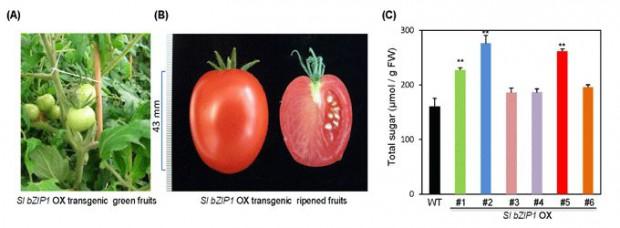 東北大学、新たな果実高糖度化手法の開発・甘いトマト果実の作出に成功