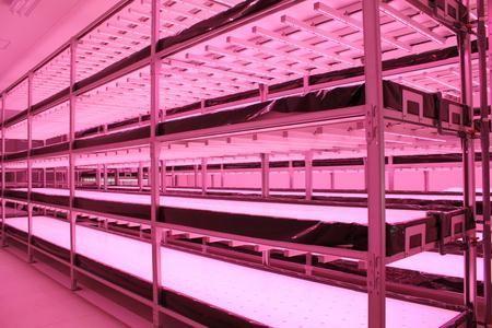 温泉熱を活用した植物工場にて機能性・薬用植物工場としたエゴマを栽培(富山市・牛岳温泉植物工場)