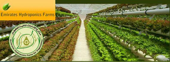 ドバイの水耕・多段式/ハイテク施設栽培の普及計画。オランダ式の栽培方式を採用したEmirates Hydroponics Farmsについて