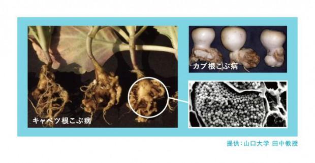 世界初LAMP法による根こぶ病菌密度測定サービスを開始。栽培前に発病ポテンシャルを診断
