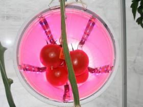 人工光を利用し、連続光への耐性遺伝子でトマトの収量2割増