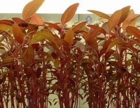 就労支援NPOに弊社の低コスト型植物工場を導入、高機能野菜の研究へ