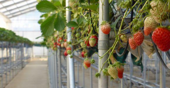 『低コスト型・イチゴ栽培施設(太陽光利用型施設)』