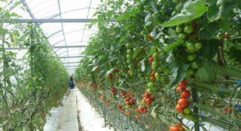 宮崎太陽農園、植物工場にて8度以上の高糖度・中玉トマト「太陽美人」を生産