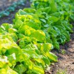 ワタミの自社農場、2009年に野菜・農作物の栽培では初の黒字化へ
