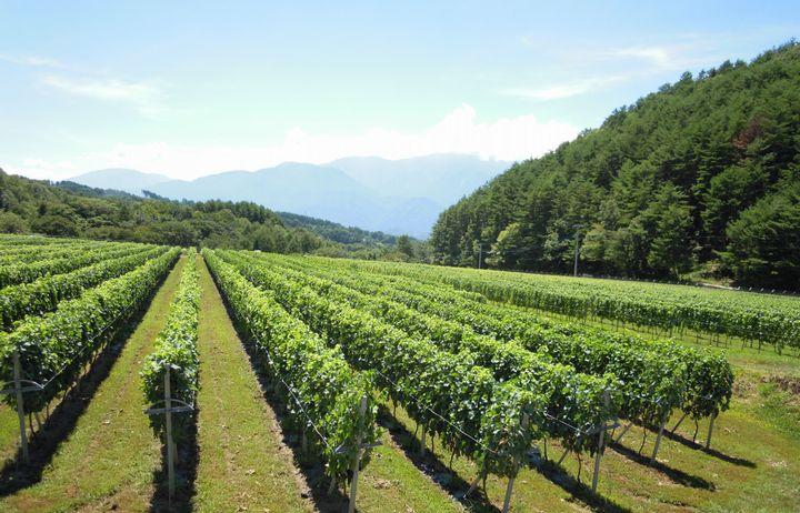 ヴィンテージファーム、山梨県の遊休農地を活用してブドウ栽培へ。県による半額補助も