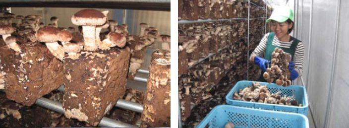 大東建託、植物工場ビジネスを行う新会社を設立。茨城県で椎茸の栽培・販売事業を開始