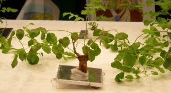 鹿島建設、千葉大などと共同で植物工場による薬用植物「甘草」の栽培技術を確立へ