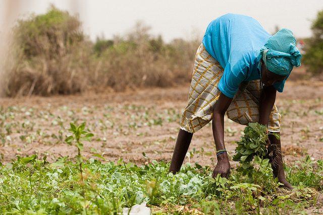 サウジ、セネガルの40ha巨大農地リース交渉を開始。穀物の輸入依存から脱却へ