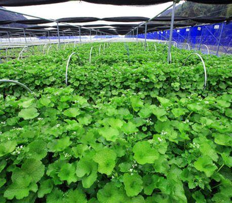佐賀県「多良岳」 ボックス式・水耕栽培による無農薬ワサビを生産