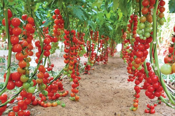 イスラエル伝統組織「モシャブ」 ハイテク温室による水が出ない新品種トマトの開発