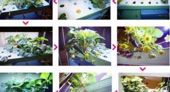 エーシートライ、LED植物工場によるイチゴ栽培を提案。家庭用から商業施設まで対応