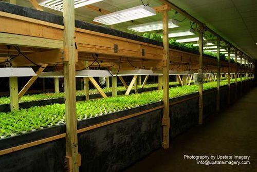 米国ニューヨーク、植物工場を併設する別ルームにて淡水魚ブルーギルを栽培