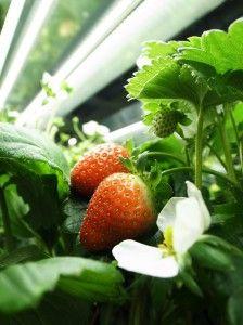 ストロベリーラボラトリーなど、イチゴ植物工場にて種から周年・量産化に成功