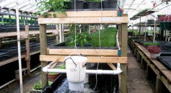 魚の養殖と野菜の水耕栽培を融合したアクアポニクスとは?