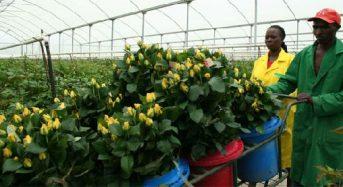 2012年のケニアにおける園芸作物の輸出動向
