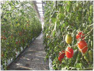 銀座農園、太陽光・植物工場にて高糖度トマトをシンガポールで生産