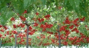ハイポニカ農法の協和、上海国有企業との合弁会社を設立。上海に植物工場プラントを建設