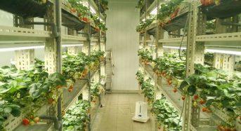 いちごカンパニー、LED型植物工場による生産システムの確立へ
