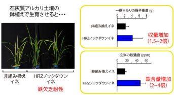 鉄欠乏による生育不良を抑制・鉄含有量を高めるイネの開発