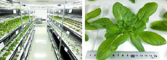 奈良交通による植物工場産・伝統野菜「大和まな」ANAビジネスクラス機内食への一部採用