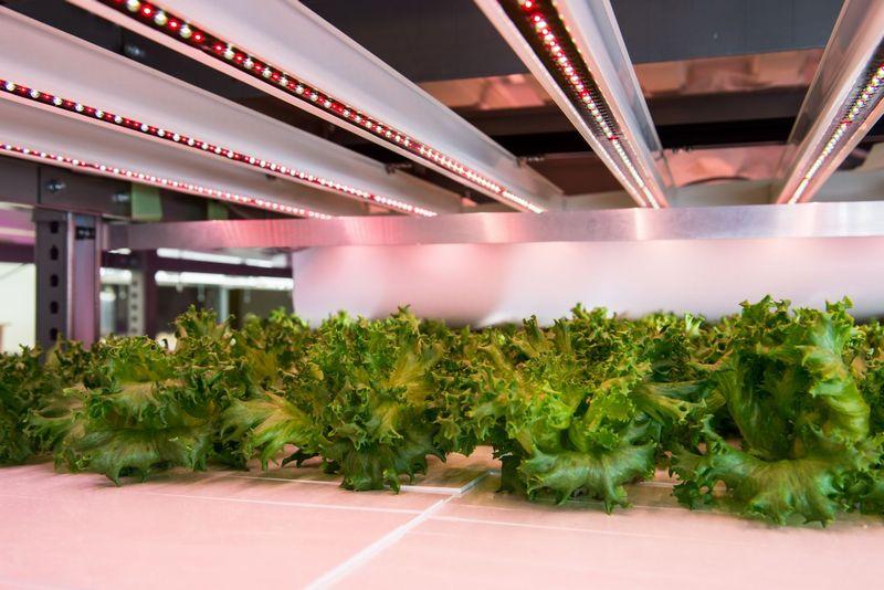大阪府立大学の植物工場、フィリップス社による植物育成用LED照明を1万3,000本採用