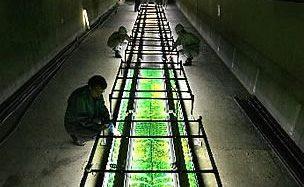 地下スペースを活用したスギゴケの植物工場。育成期間を従来の4分の1へ短縮