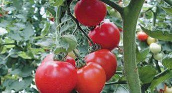 産業用ガスのエア・ウォーター、カゴメの生食トマトを栽培する植物工場(安曇野市)を取得