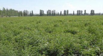 ツムラ、中国の研究機関との共同研究により甘草(カンゾウ)の栽培技術を確立