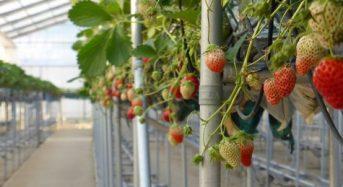 横田ファーム 千葉産イチゴがマレーシアへ試験的な輸出開始