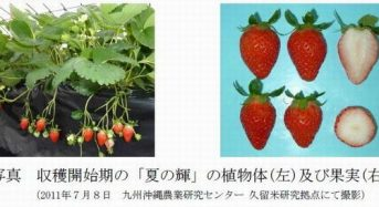 太陽光型植物工場でもイチゴの周年栽培へ、新たな四季成り品種を開発