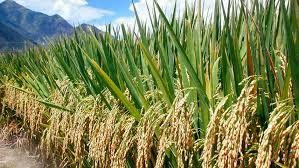 イオンが農地中間管理機構を活用した大規模コメ生産へ
