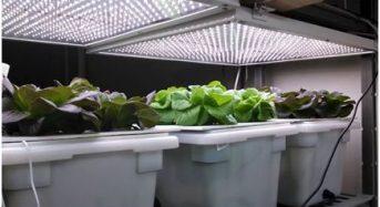 ハワイでも完全人工光型植物工場によるアイスプラントの生産も