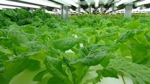 介護・福祉ソフト開発のエヌ・デーソフトウェア、自社倉庫を利用した農福連携型の植物工場へ