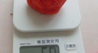 いちごカンパニー、人工光型植物工場で世界最大の高糖度イチゴを生産