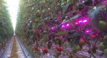 ドイツUNION POWER STAR社、ハウス栽培の収量を30〜40%増加させるLEDライトを開発