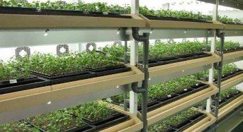 三菱樹脂が薬用向け甘草の量産技術を確立。人工光型植物工場による苗生産設備を利用