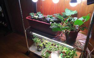 イチゴ栽培を可能にした家庭用・小型植物工場向けのLED照明を開発