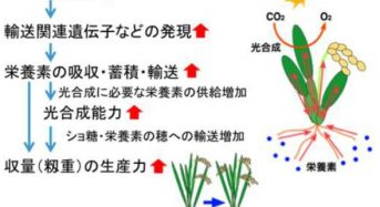 農業生物研、イネの栄養の吸収と蓄積を促進させる遺伝子を発見