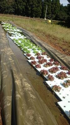 セプトアグリ、液肥を使用しない水耕技術の試験的導入農家の募集を開始