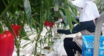 豊田通商の農業法人、宮城県に国内最大級のパプリカ植物工場を稼働