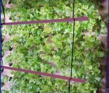 日本アドバンストアグリ、独自開発「3波長型ワイドバンドLED」が米国の植物工場にて採用
