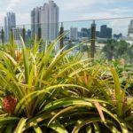 シンガポール5つ星ホテルの屋上菜園、ハーブ野菜やパッションフルーツも栽培