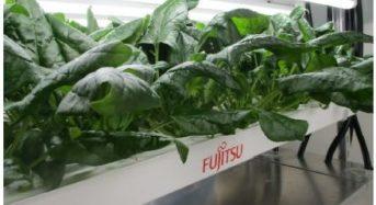 富士通など、植物工場にて鉄分75%アップした低カリウム・ホウレンソウを実現
