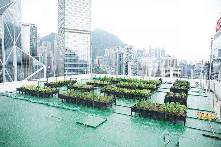 香港の高層タワー39階にある屋上ファームが収穫ピークへ。都市住民の行動にも変化が